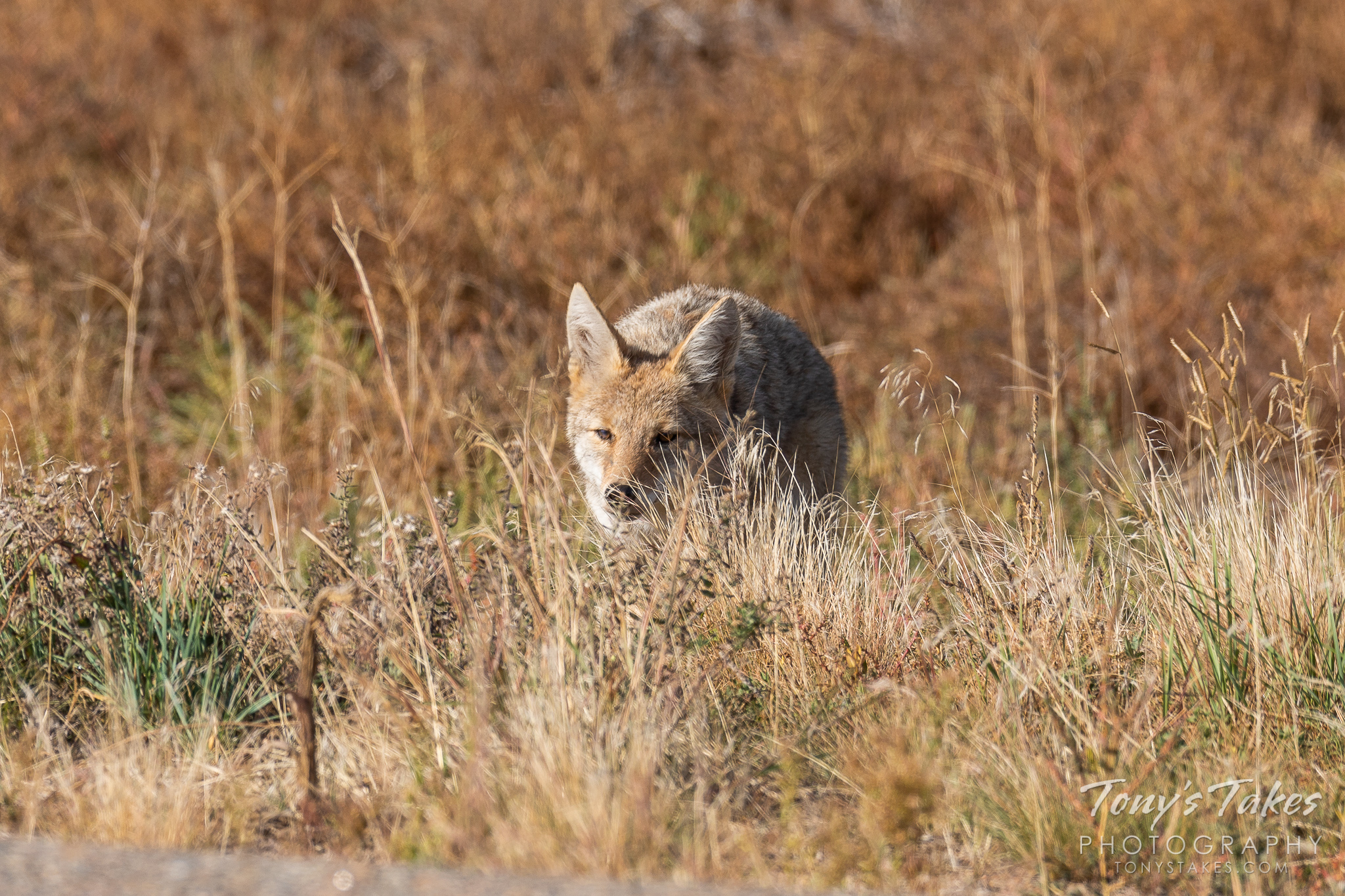 A young Coyote keeps its nose to the ground sniffing for a meal. (© Tony's Takes)