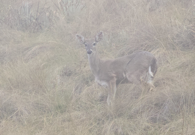 White-tailed Deer, Odocoileus virginianus 199A5671