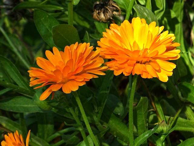 Ringelblumen - Leuchten