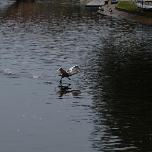 Young swan taking off, Avon, Stratford