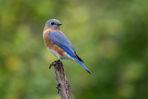 Eastern Bluebird | by Rob & Amy Lavoie