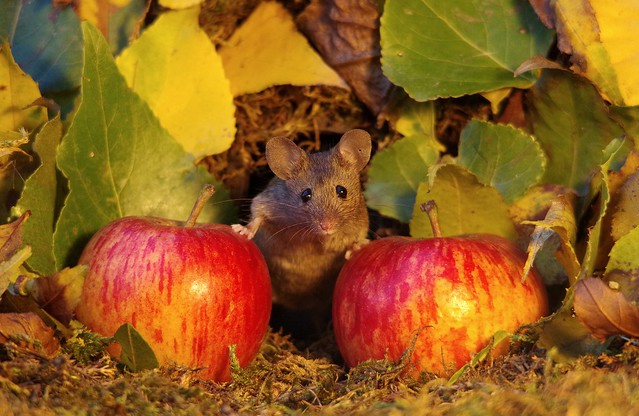 wild mouse with Autumn apples  (4)