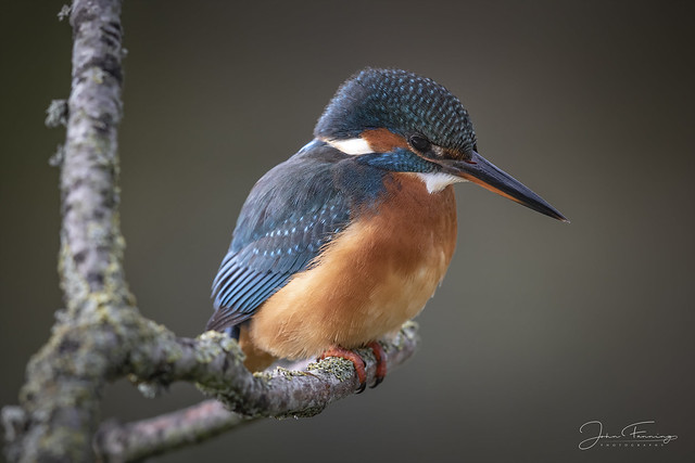 Kingfisher - Somerset