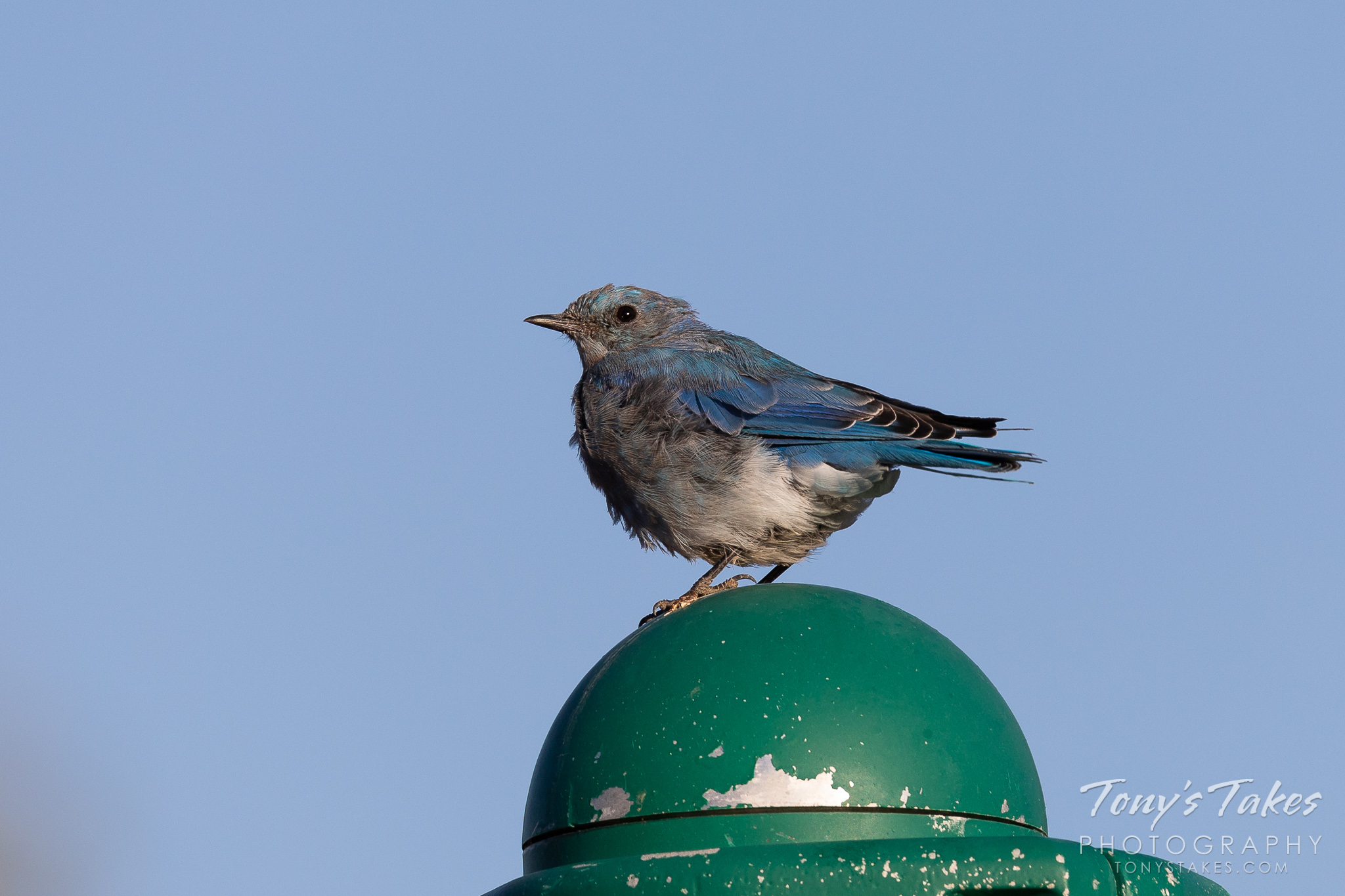 Scraggly Mountain Bluebird hangs out in the playground