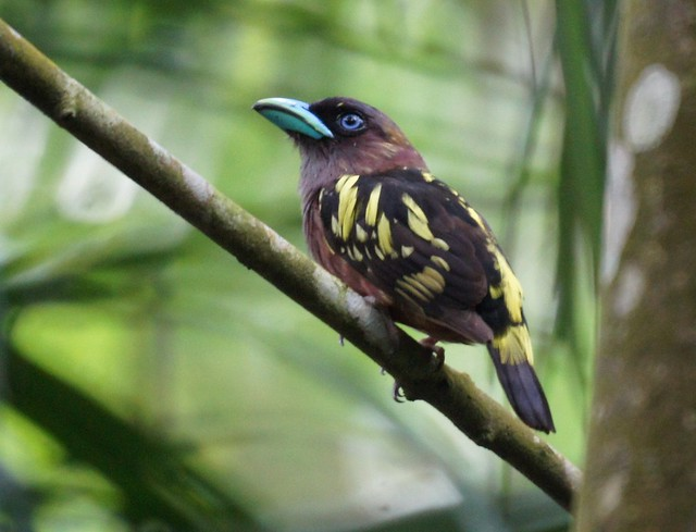 Banded Broadbill, Eurylaimus javanicus, Яванский рогоклюв