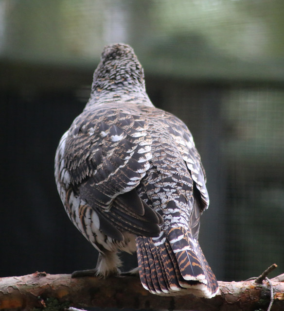 Capercaillie at Highland Wildlife Park