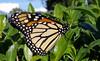 Monarch1 by Silverdreamscape