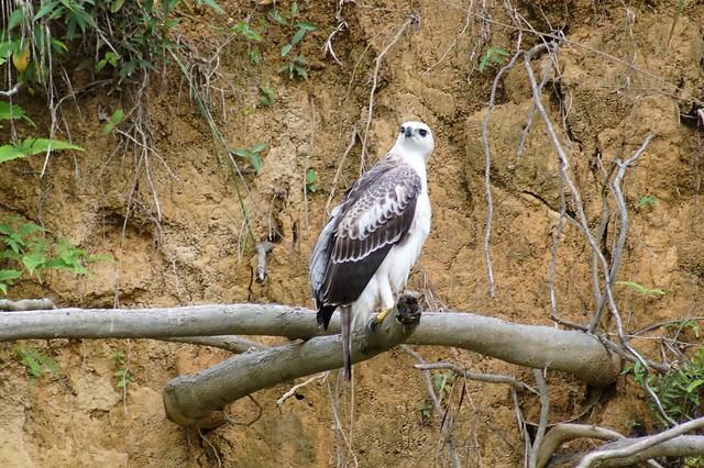 Changeable Hawk-eagle - Nisaetus cirrhatus limnaeetus