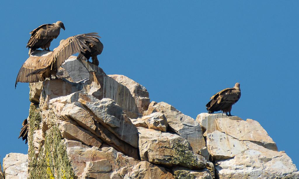 Buitres Leonados (Monfrague, Extremadura)