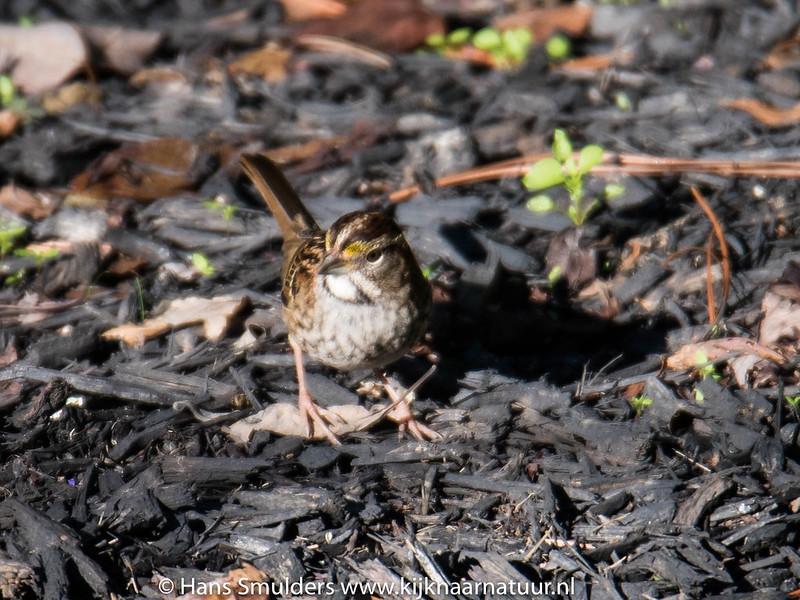 Song sparrow-818_6622