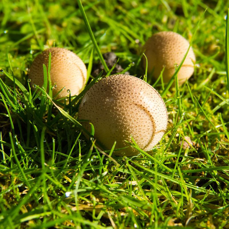Autumn fungi: trio of tiny puffballs