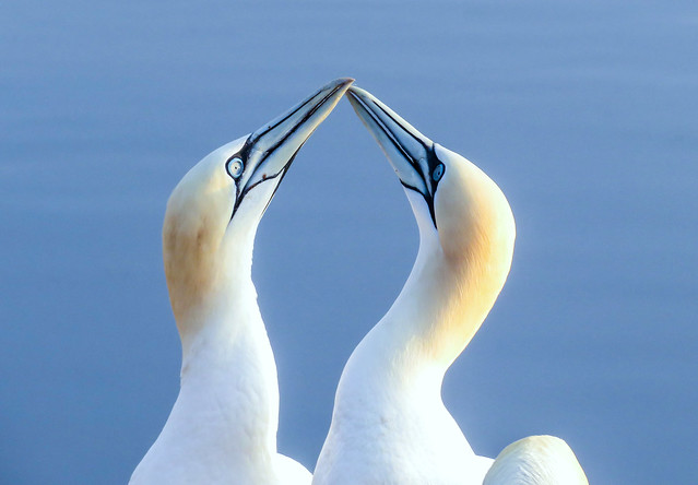 Greeting ritual by northern gannets on Helgoland, Germany