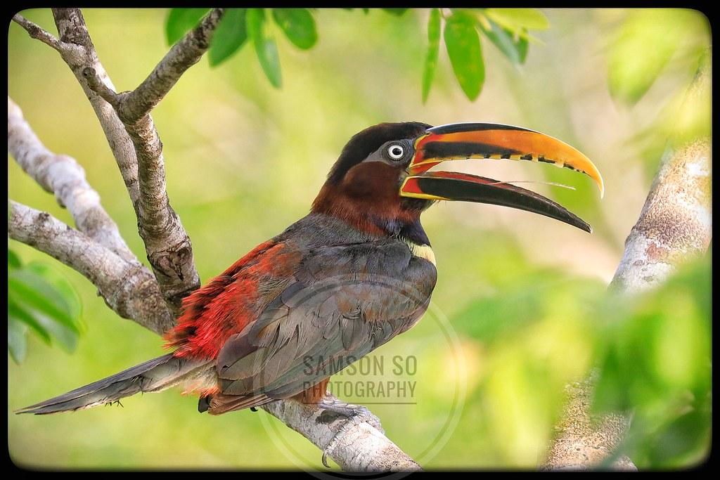 栗耳簇舌巨嘴鳥 Chestnut-eared Aracari(Pteroglossus castanotis), Pantanal, Brazil