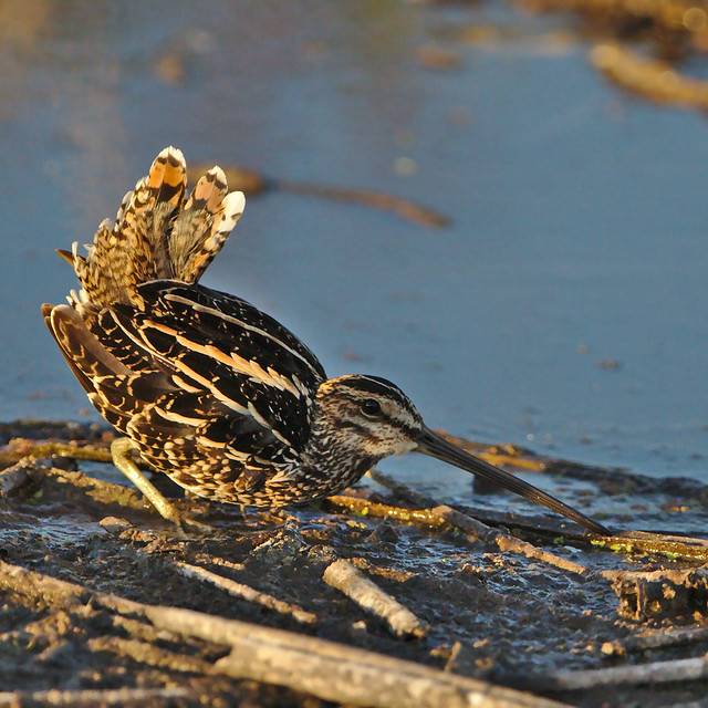 African Snipe, Gallinago nigripennis at Marievale Nature Reserve, Gauteng, South Africa displaying its territorial behaviour.