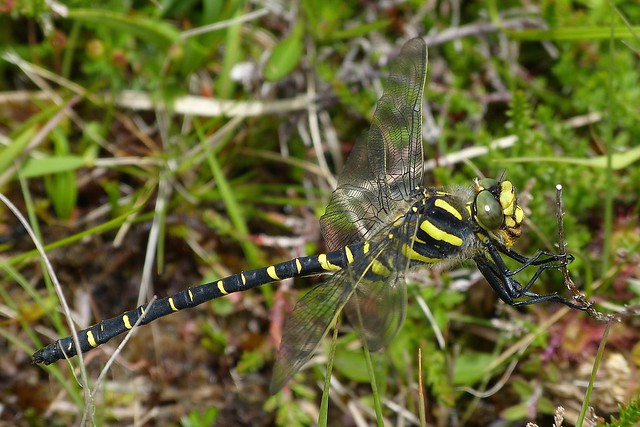 Golden-ringed Dragonfly female