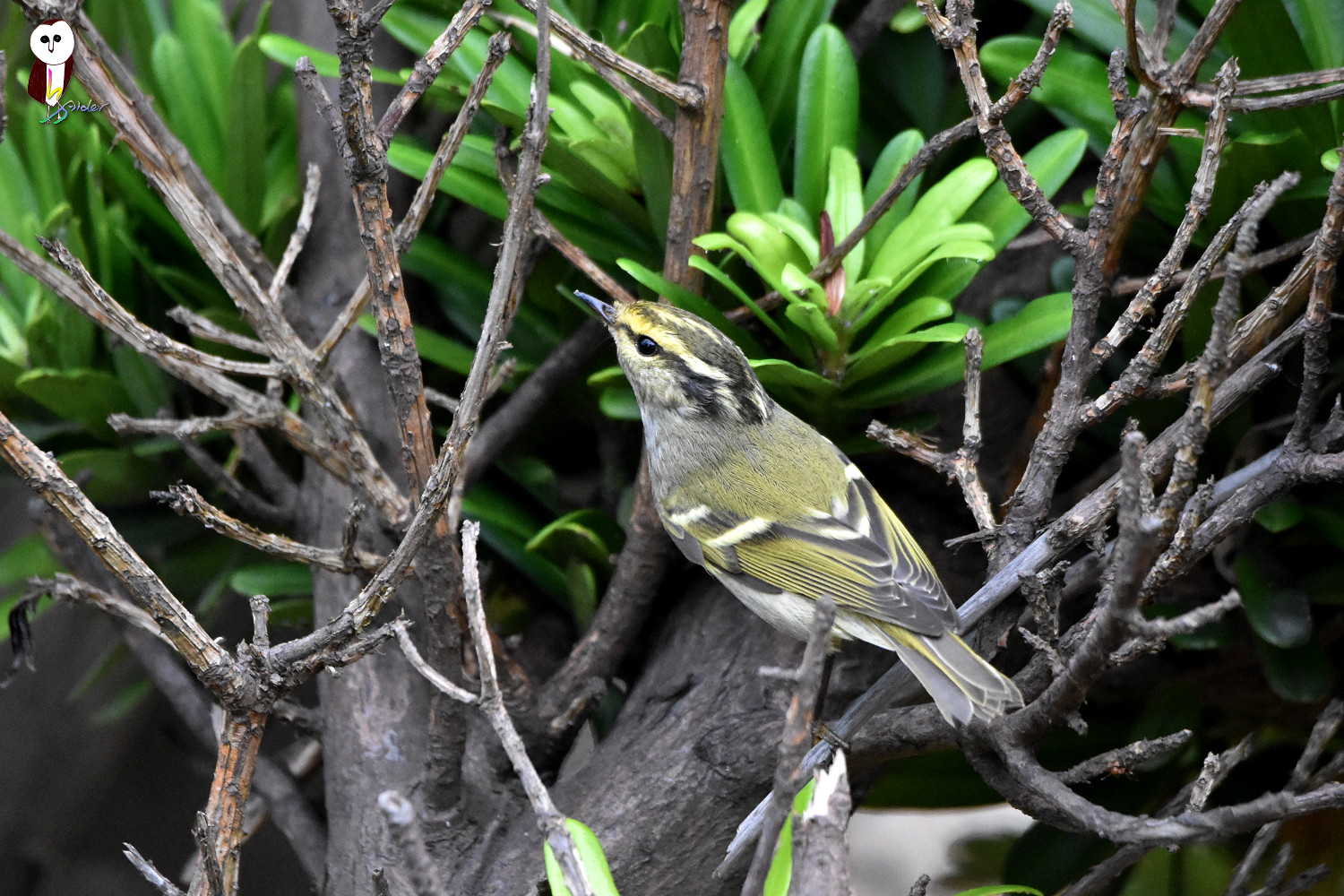 Yellow-browed_Warbler_6162
