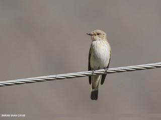 Spotted Flycatcher (Muscicapa striata) | by gilgit2