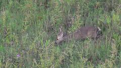 Sangai (Eld's deer)