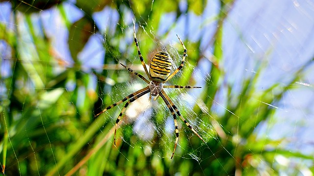 Italy, wasp spider