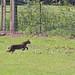 Flickr photo 'Bobcat (Lynx rufus)' by: Mary Keim.