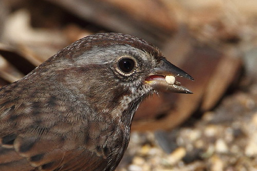 yakimaareaarboretum yakimacounty washingtonstate bird songsparrow melospizamelodia