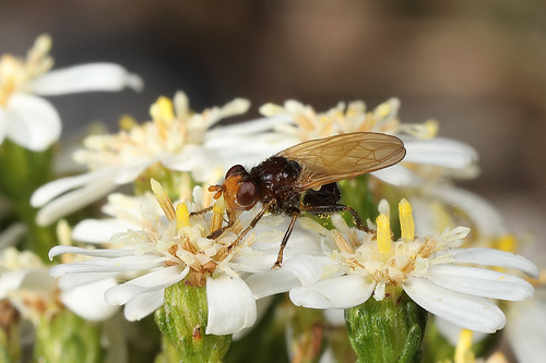 Lauxiinid fly