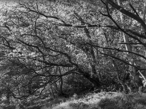 hyonswood blackandwhite monochrome mediumformat ancientwoodland ruralnortheast mamiya trees leaves