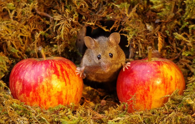 wild house mouse with apples  18 oct  (1)