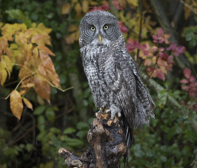 Great grey Owl young