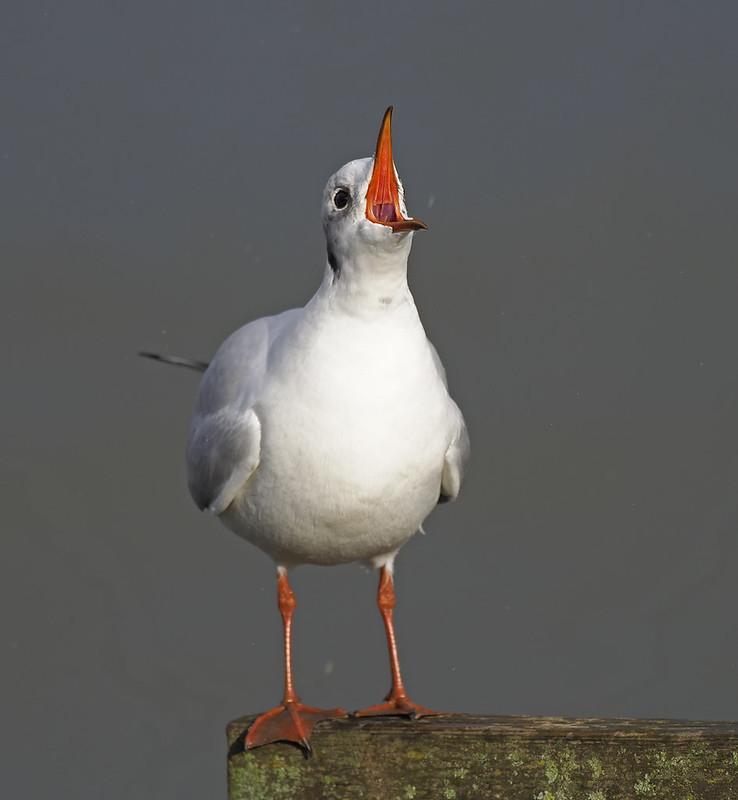 Angry Black-headed Gull