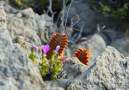 Haworthia viscosa in habitat | by Martin_Heigan