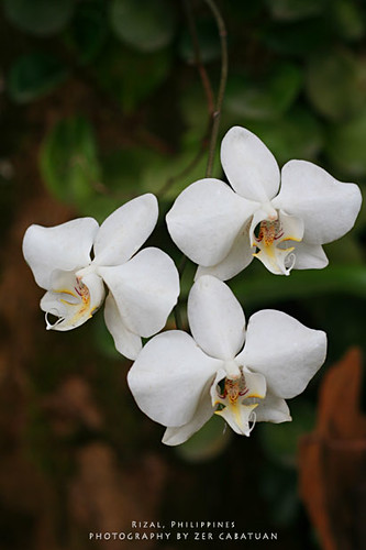 Orchid | by webzer