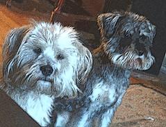 terrier and miniature schnauzer