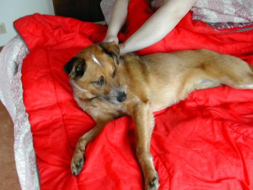 Dozing Dingo