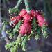 Cactus Buds