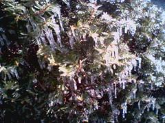 Froze Tannen.jpg