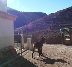 burro_meando