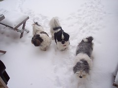 A trio of snowy shi'tzus