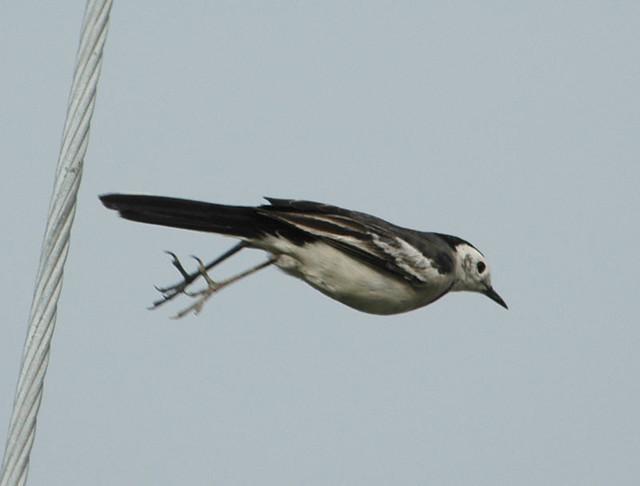 I'm flying without wings    | Motacilla alba leucopsis  Than