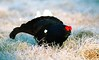 Black Grouse, male lekking by Pia's birdseye view