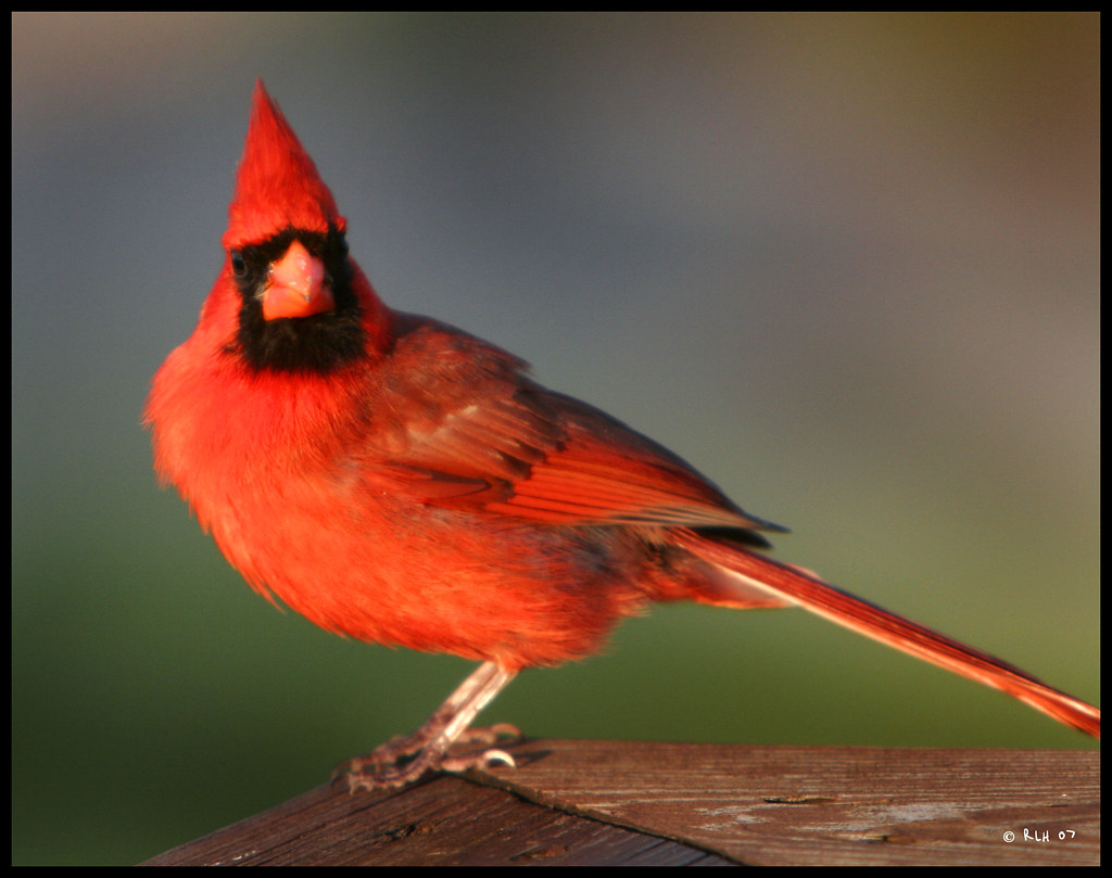 Virginia Cardinal | The Virginia State Bird. This one ...
