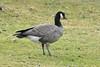 Cackling Goose (Branta hutchinsii) by R-Gasman