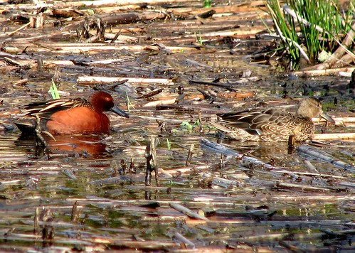 Cinnamon Teal (Anas cyanoptera) | by Crappy Wildlife Photography