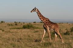 Girafe Masaï | by nijaba