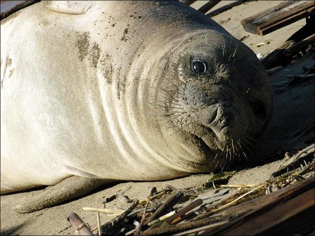 Josephine,  elephant seal pup