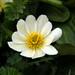 Flickr photo 'Marsh Marigold flower closeup' by: Tony Frates.