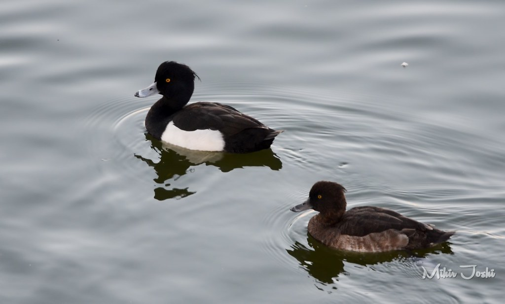 Tufted duck [Porrón Moñudo]