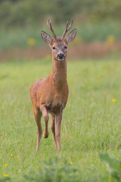 Roe Deer Buck in alert posture