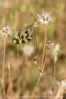 2011063107-Nemoptera-bipen2 | by www.cuadernosdecampo.com