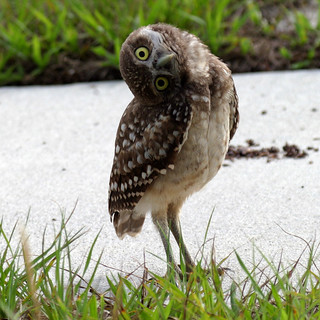 Burrowing Owl | by crookrw